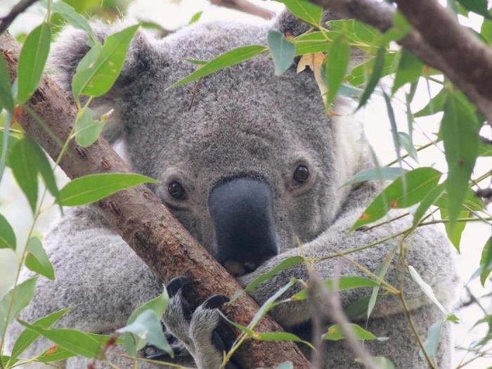Redland City's koalas face extinction