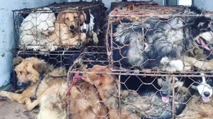 End Animal Cruelty: Dog Meat Trade   Chuffed   Non-profit