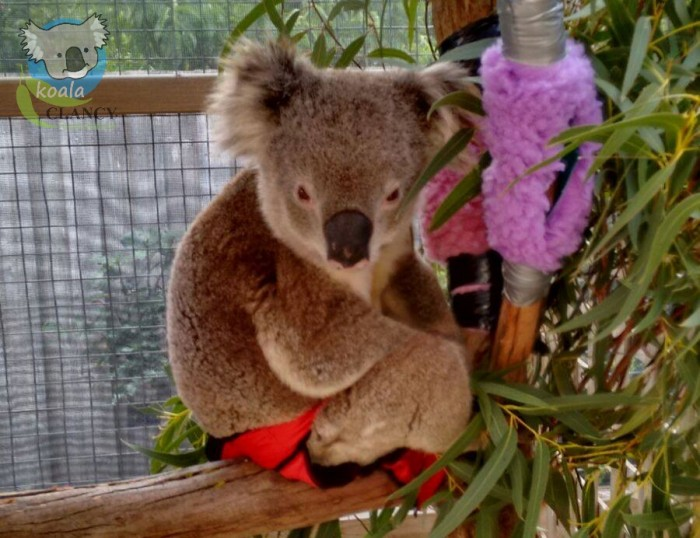 Koala Clancy in his red hot pants