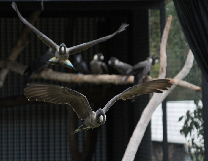 Rehabilitated Baudin's Cockatoo being flight tested for release