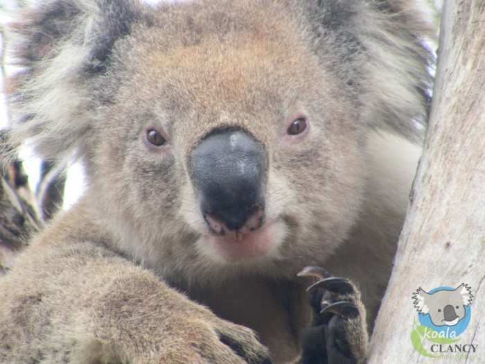 Koala Clancy - the most famous wild koala in the world